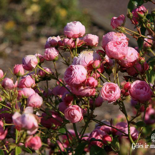 Sodo rožių sodinimas ir priežiūra