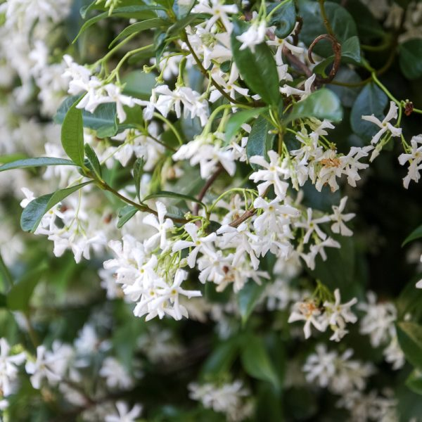 trachelospermum jasminoides star jasmin jazminas žvaigždinis flowers plants mediterranean gėlės ir manufaktūra