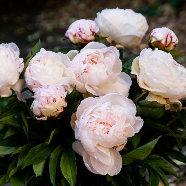 bijūnai rožiniai light pink peonies paeonia paeonia gardenia Gėlės ir manufaktūra skinti skintas bijunas flowers