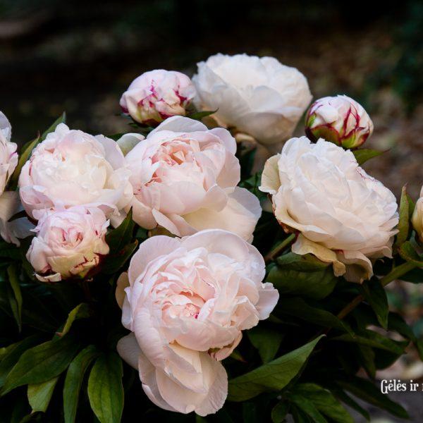 bijūnai rožiniai light pink peonies paeonia paeonia gardenia Gėlės ir manufaktūra skinti skintas bijunas flowersbijūnai rožiniai light pink peonies paeonia paeonia gardenia Gėlės ir manufaktūra skinti skintas bijunas flowers