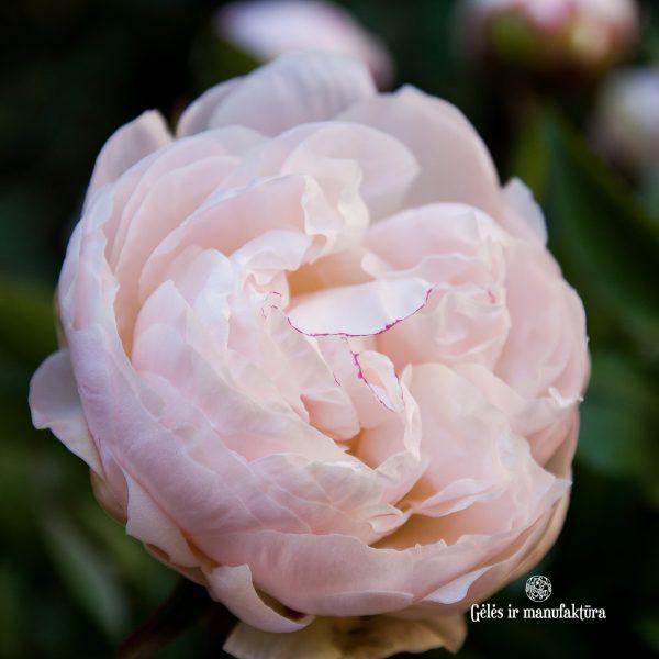 bijūnai rožiniai light pink peonies paeonia paeonia gardenia Gėlės ir manufaktūra skinti skintas bijūnas flowers