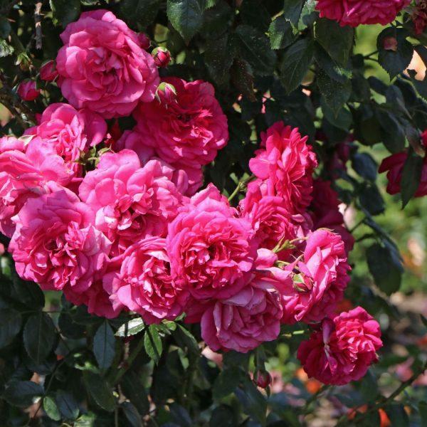 climbing garden rose rosa Laguna cerise fragrance laipiojanti vijoklinė sodo rožė gėlės ir manufaktūra