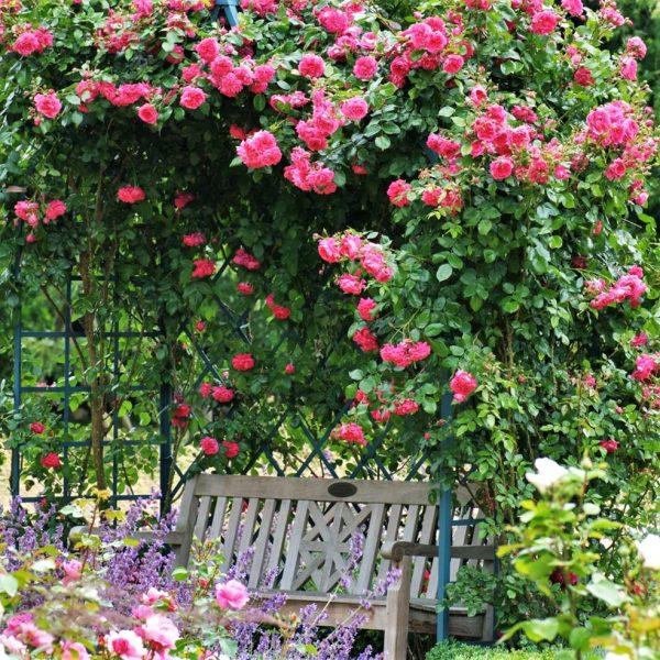 climbing garden rose rosa 'Laguna' ® cerise fragrance laipiojanti vijoklinė sodo rožė gėlės ir manufaktūra