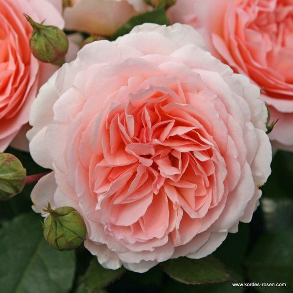 garden beetrose rose Märchenzauber shrubrose sodo bijunine rožė gėlės ir manufaktūra apricot fragrance
