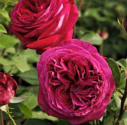garden roses rosa fragrant Freifrau Caroline parfuma shrubrose kvepianti sodo rožė geles ir manufaktura