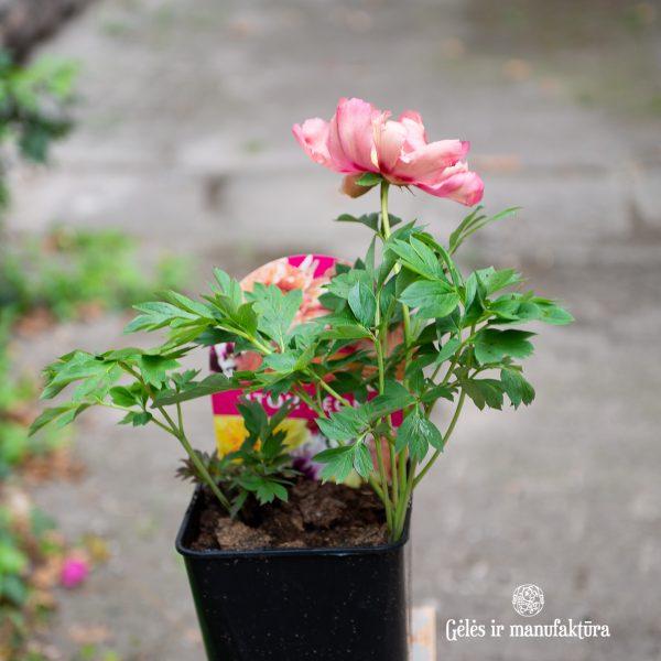 peony Itoh paeonia Kopper Kettle intersectional hybrid bijūnai hibridiniai plants augalas gėlės ir manufaktūra