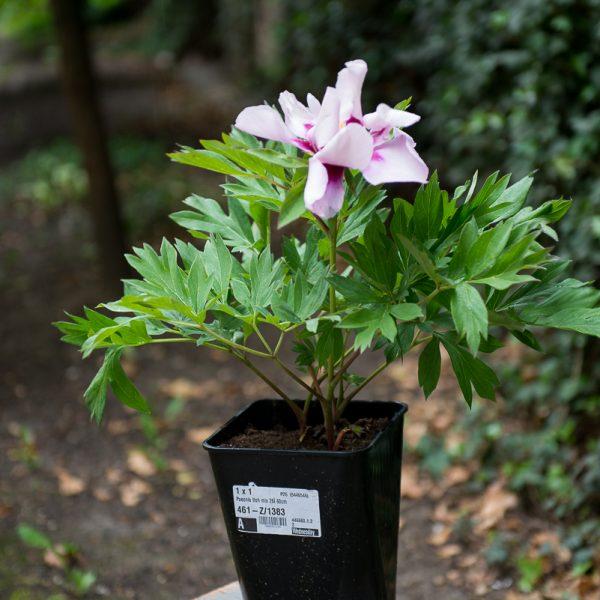 peony Itoh paeonia Cora Louise intersectional hybrid bijūnai hibridiniai plants augalas gėlės ir manufaktūra