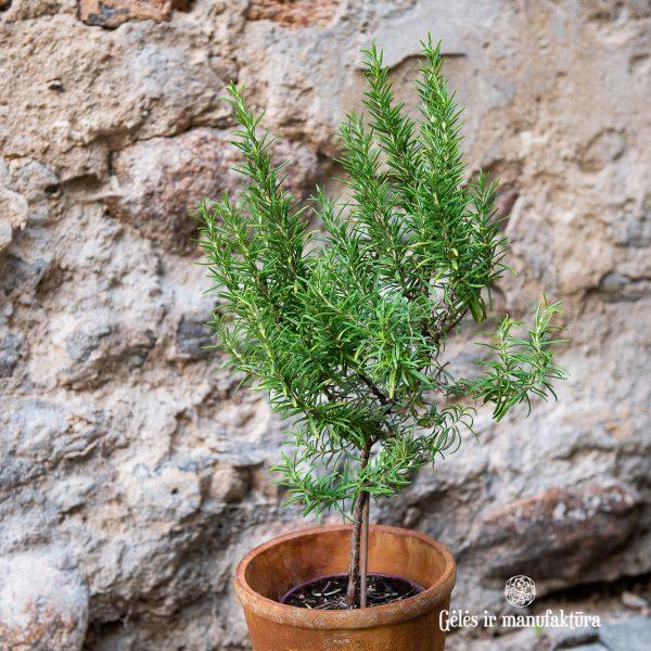 rosmarinus rozmarinas rosemary plants augalas herbs gėlės ir manufaktūra