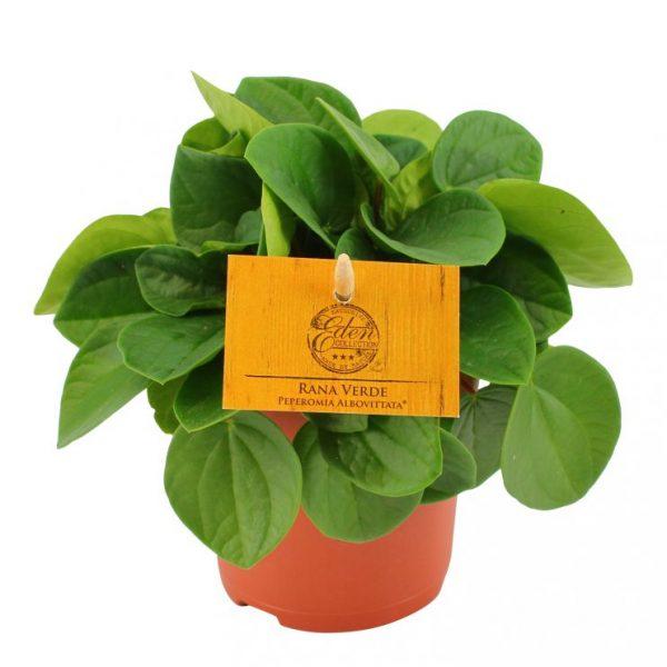 Peperomia albovittata rana verde peperomija žalia kambarinis augalas green plants geles ir manufaktura