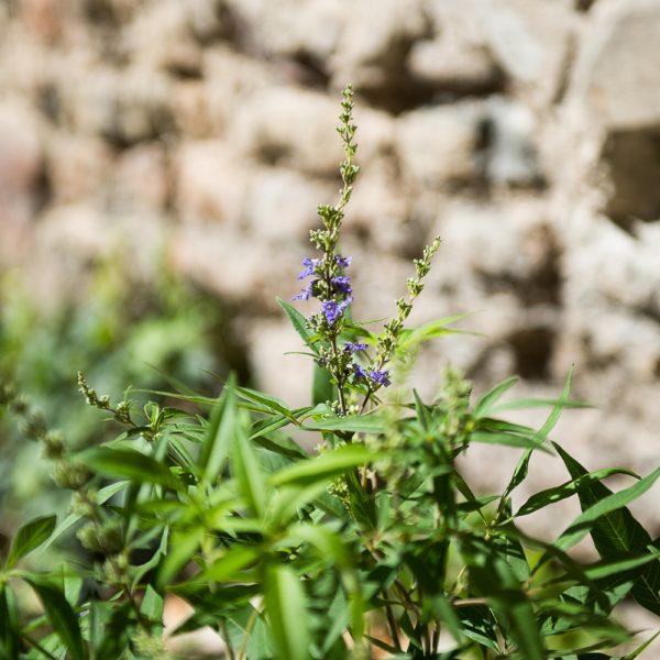 vaistinis augalas skaistminas augalai vitex agnus-castus gift dovana gėlės ir manufaktūra