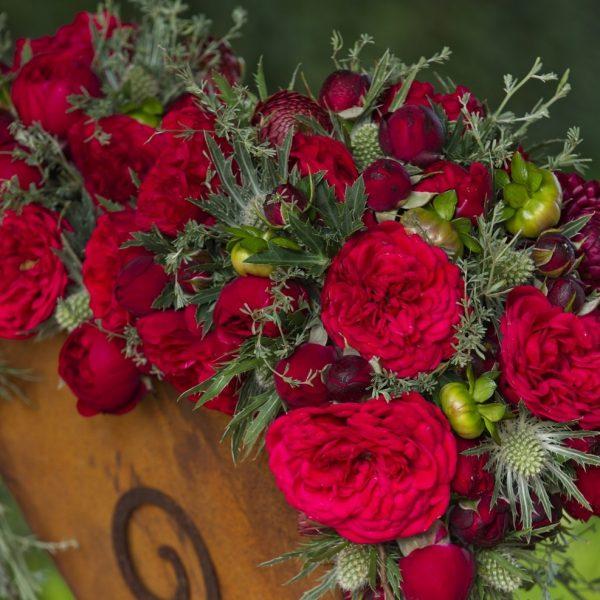 garden rose Out of Rosenheim red raudona sodo bijūninė rožė augalai plants