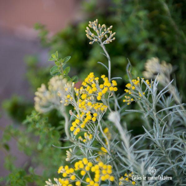 helichrysum italicum immortelle herbs curry spice aroma šlamutis augalas gėlės ir manufaktūra