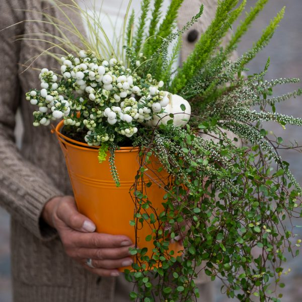 augalai pernettya bruknuolė spūglas muehlenbeckia calluna viržiai kompozicija ruduo vazonas autumn arrangement plants pumpkin moliugelis gėlės ir manufaktūra