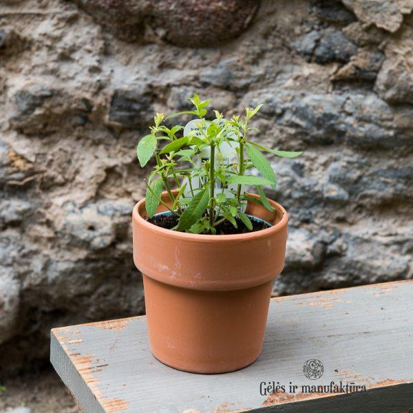verbena aloysia citriodora lippia citrininė verbena lemon augalas vaistažolė gėlės ir manufaktūra