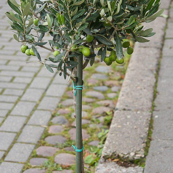 Alyvmedis olea europaea kambarinis augalas medelis olive tree gėlės ir manufaktūra floristai