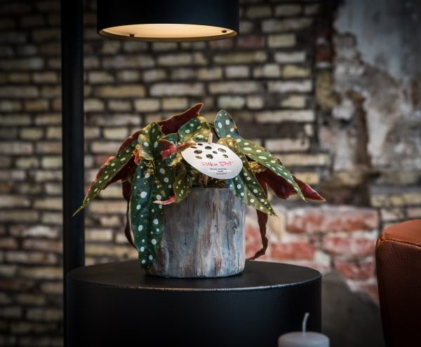begonia maculata polka dot begonija su žirniukais retas kambarinis augalas gėlės ir manufaktūra
