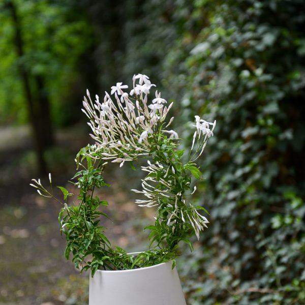 jazminaitis jasminum polyanthum jasmine augalai geles ir manufaktura