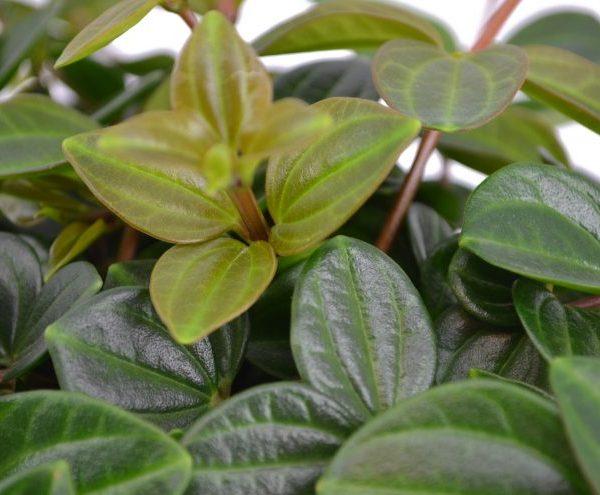 Peperomia angulata peperomija green plants geles ir manufaktura kambarinis augalas zalias