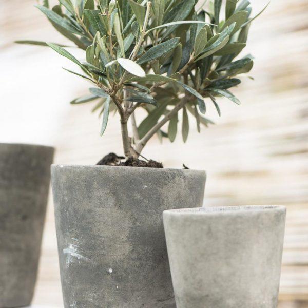 olea europaea tree alyvmedis vazonas gardening scissors mynte gėlės ir manufaktūra