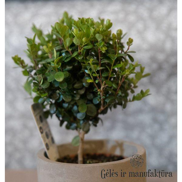 myrsine africana mirsine kambarinis augalas tree plants medelis
