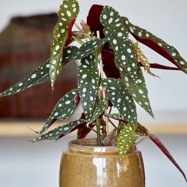 Begonia maculata polka dot begonija kambarinis augalas dėmėtoji kambarinės gėlės
