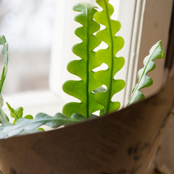Epiphyllum anguliger Fishbone zigzag cactus kaktusas kambariniai augalai gėlės ir manufaktūra