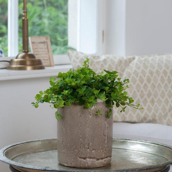 Peperomia Rotundifolia floradania peperomija plants kambariniai augalai green žalialapis green