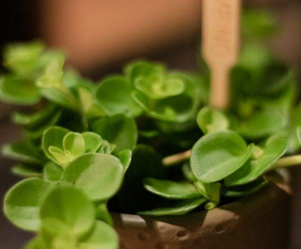 Peperomia Rotundifolia floradania peperomija plants kambarinis augalas green žalialapis green