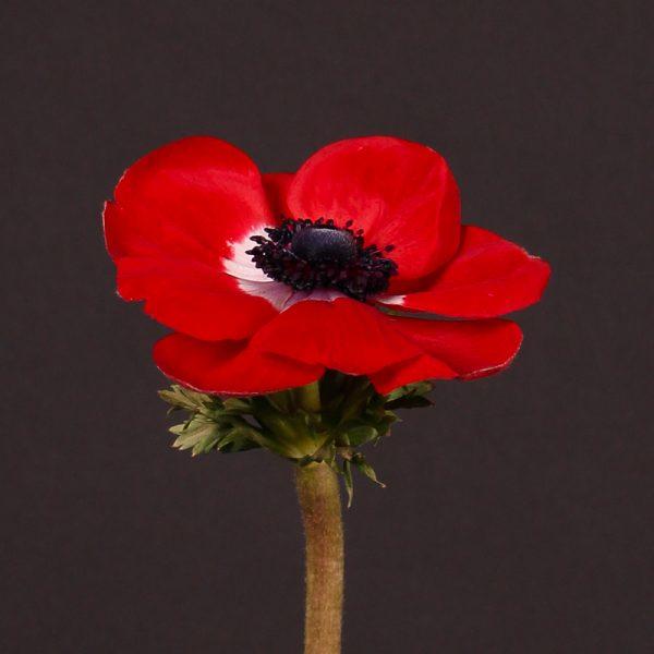 anemone mistral red black plukė raudona flowers gėlės ir manufaktūra valentino diena