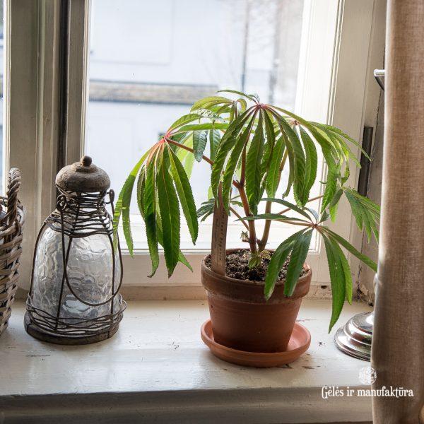 begonia luxurians palm leaf begonija kambariniai augalai gėlės ir manufaktūra