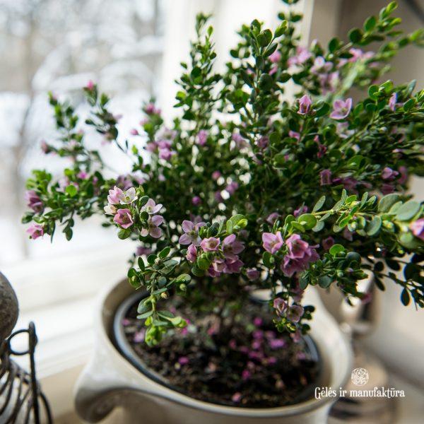 boronia crenulata pink flowers plants boronija žydintis kambariniai augalai gėlės ir manufaktūra