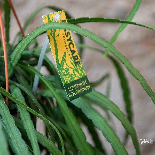 lepismium bolivianum green plants cactus kaktusas geles ir manufaktura kambariniai augalai