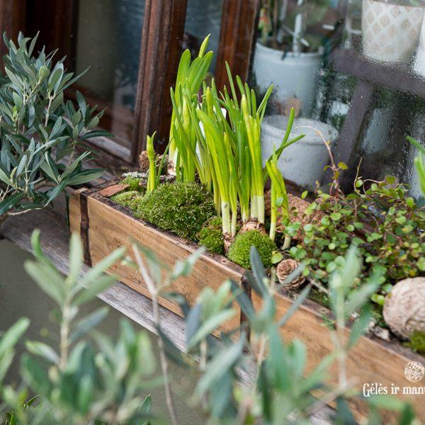 pavasarinis augalų lovelis su samanom narcizais spring bulbs gėlės ir manufaktūra