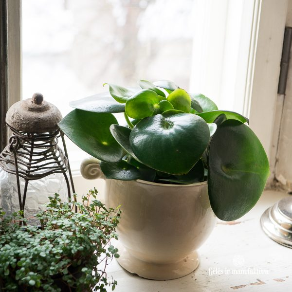 peperomia polybotrya raindrops green plants kambariniai augalai gėlės ir manufaktūra