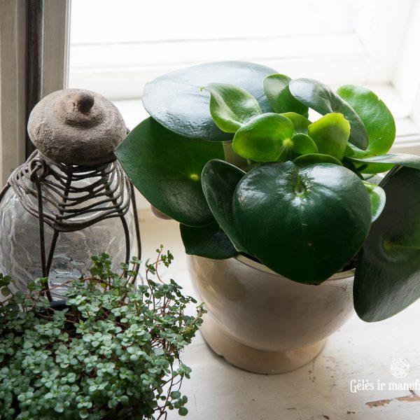 peperomia polybotrya raindrops pilea glauca green plants kambariniai augalai gėlės ir manufaktūra-4