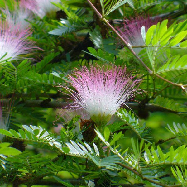 calliandra surinamensis pink powder puff plant kaliandra surinamo gėlės ir manufaktūra kambarinis augalas