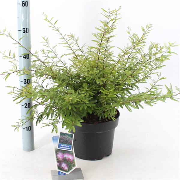 calliandra surinamensis pink powder puff plant kaliandra surinamo gėlės ir manufaktūra