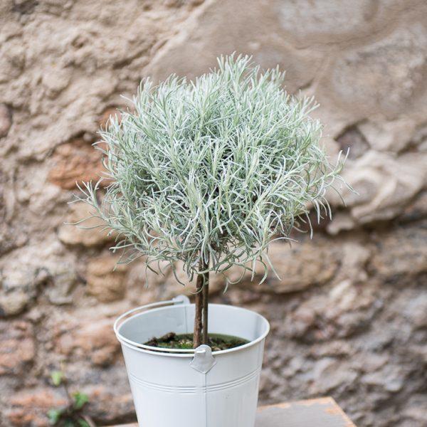 helichrysum italicum šlamutis italinis immortelle gėlės ir manufaktūra augalai vaistažolė prieskonis herbs