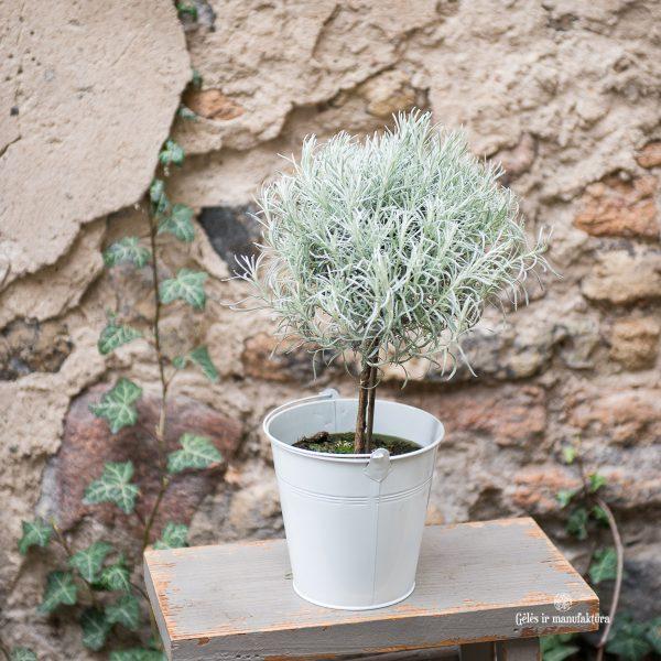 helichrysum italicum šlamutis italinis immortelle gėlės ir manufaktūra augalai vaistažolė curry plant
