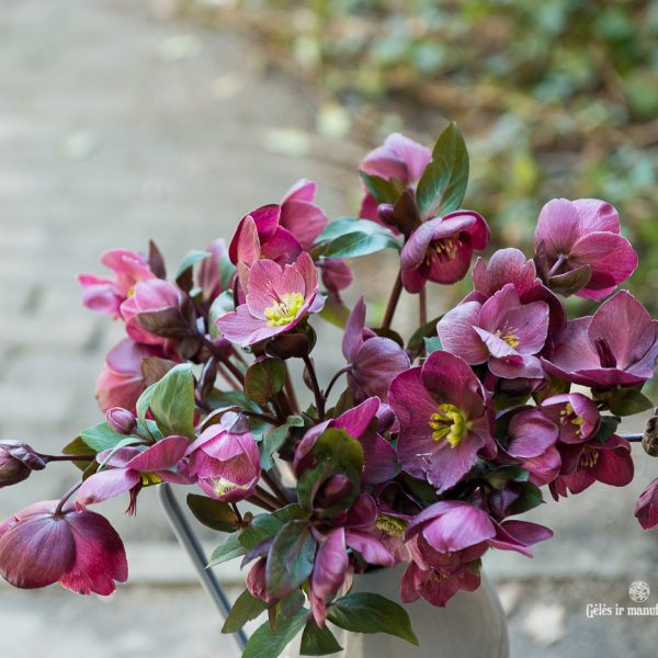 helleborus eleboras čėras bordinė bordo red spalvos gėlės ir manufaktūra skintos flowers