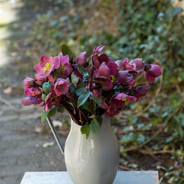 helleborus eleboras čėras bordinė bordo red spalvos gėlės ir manufaktūra