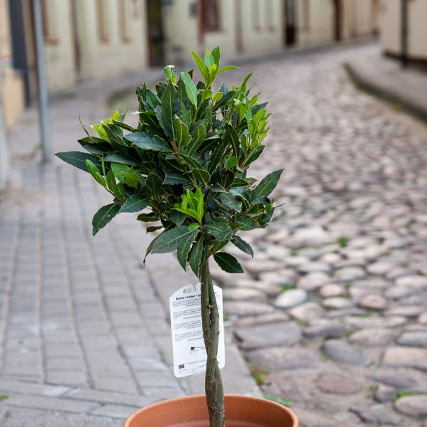 lauras baytree laurier laurus nobilis stam tree medelis lauramedis gėlės ir manufaktūra prieskoniai dekoratyviniai augalai