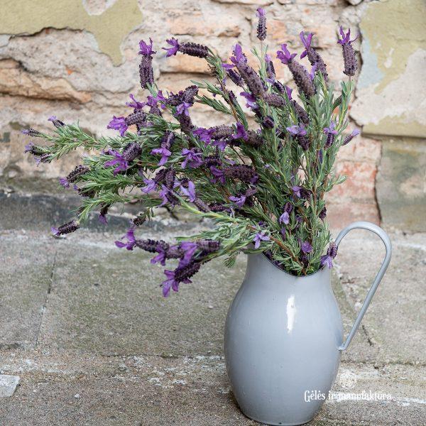 lavandula skinta levanda butterfly stoechas fragrant gėlės ir manufaktūra gėlių pristatymas vilniuje flowers delivery