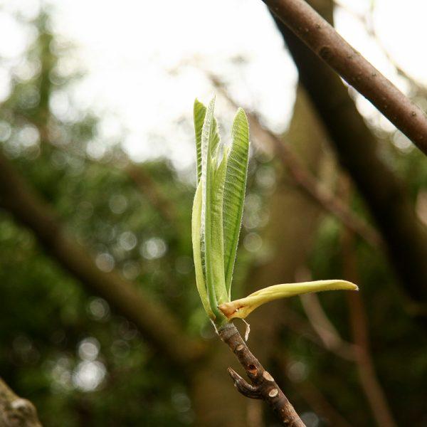 magnolia hybrida soulangeana stellata magnolija sulanžo augalas krūmas medis gėlės ir manufaktūra žiedai flowers