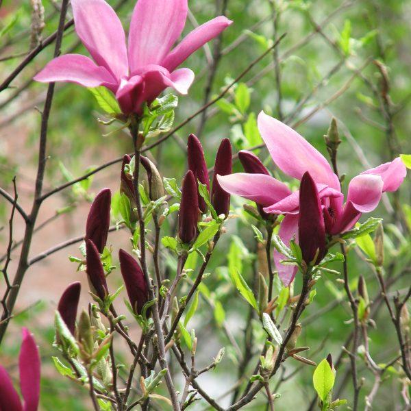 magnolia susan flower magnolija krūmas medelis tree shrub soulangeana sodo augalas garden plant gėlės ir manufaktūra pumpuras