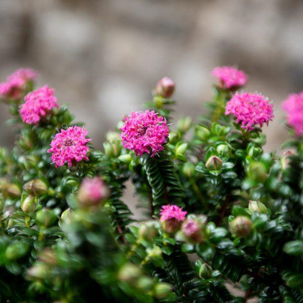 pimelea ferruginea pimelėja flowering plants gėlės ir manufaktūra augalai Australijos endeminis retas coastal garden pajūrio sodas