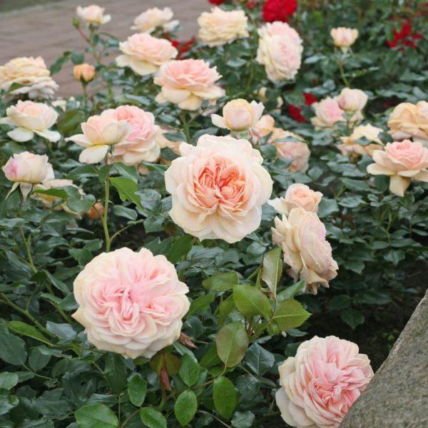 rosa garden rose Garden of roses floribunda peach beetrose sodo rožė senovine persikinė pasteline senovine augalas gėlės ir manufaktūra