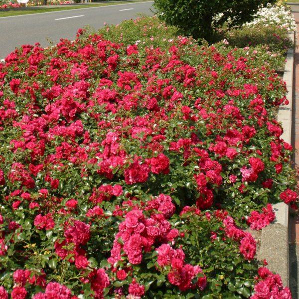 rosa garden rose Gaertnerfreude Toscana cherry floribunda sodo rožė avietinė augalas gėlės ir manufaktūra augalai