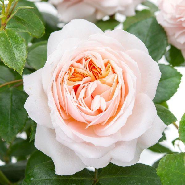 rosa garden rose Garden of roses floribunda peach beetrose sodo rožė persikinė pasteline senovine augalas gėlės ir manufaktūra atspari