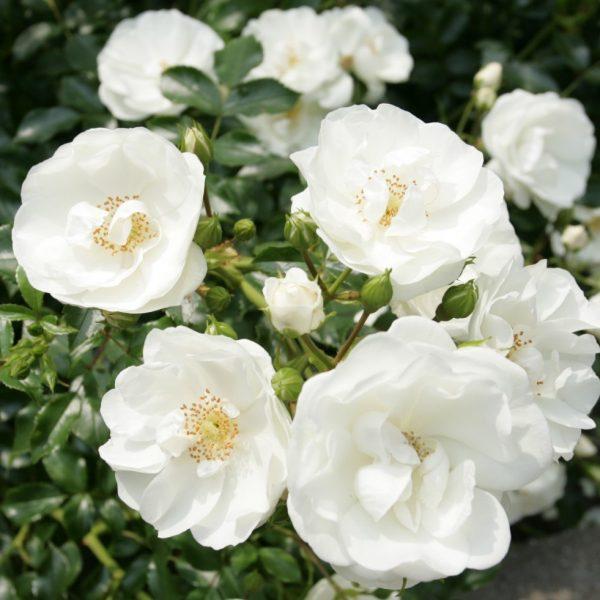 rosa garden rose Innocencia floribunda ADR white balta sodo rožė augalas gėlės ir manufaktūra atspari